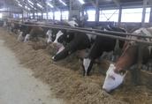 Jałowki HF, MOmbeliarde, Simentaler, krowy, pierwiastki