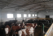 Byczki Opasy Mięsne Simental Limousine 200-240 kg