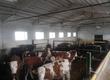 Cielaki i opasy Witam, posiadamy do sprzedaży byczki