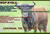 Skup bydła, byki, krowy, jałówki