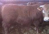 60szt opasów, byków na ubój