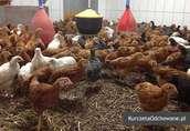 Kurczęta odchowane kury kokoszki Świętokrzyskie Starachowice Mirzec  5