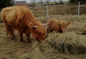 Bydło Highland - szkockie