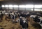 Jałowki Krowy Pierwiastki DANIA, Niemcy , Czechy 2