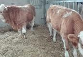 Cielaki i opasy Sprzedam byczki simentale cena 12 zł + VAT. Możliwy...