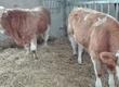 Cielaki i opasy Sprzedam byczki simentale cena