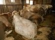 Byki na ubój sprzedam 14 byków charolaise i