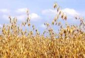 Owies Kupię owies, kukurydze i inne zboża. Płatność przy...