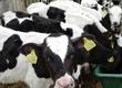 Cielaki i opasy Sprzedam byczki opasy wiek od 3