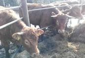 Jałówki hodowlane Limousine 100% pod oceną PZHiPBM