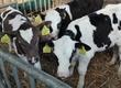 Cielaki i opasy Sprzedam byczki opasy wiek od 2