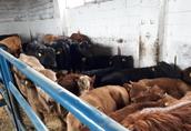Cielaki i opasy Osadki ras mięsnych w wadze 290 kg. Karmione sianokiszonk...
