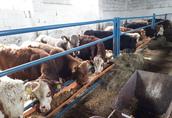 byczki, odsadki 290 kg 1