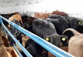 byczki, odsadki 290 kg 2