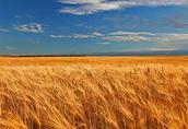 Kupię pszenicę i inne zboża