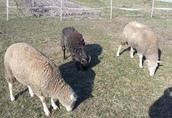 Sprzedam owce