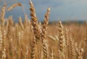 Kupie pszenicę i inne zboża