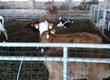Cielaki i opasy Sprzedam byczki ras mięsnych i