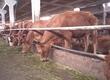 Krowy Sprzedam krowy i jałówki mięsne