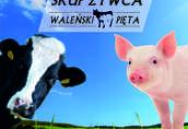 Krowy na ubój Skup Żywca WALEŃSKI-PIĘTA Zajmujemy się skupem...