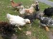 Kury nioski Kurczaki pochodzą z hodowli hobbystycznej