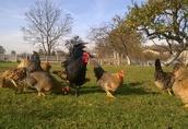 Sprzedam młode kurczaki hybrydy trzech ras : Australop, Marans i Włoszka 1