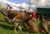 Sprzedam młode kurczaki hybrydy trzech ras : Australop, Marans i Włoszka 3