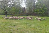 stado owiec 1