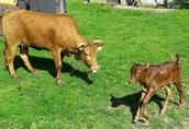 Mini krowa po pierwszym wycieleniu, wraz z cielakiem sprzedam
