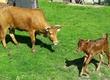 Krowy Mini krowę po pierwszym wycieleniu