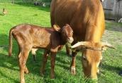 Mini krowa po pierwszym wycieleniu,  wraz z cielakiem sprzedam 1