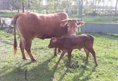 Mini krowa po pierwszym wycieleniu,  wraz z cielakiem sprzedam 2