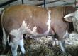 Byki na ubój Sprzedam 10 sztuk simentali miesnych