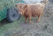 Highland dwuletnie byki