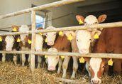 Sprzedaż cieląt mięsnych HF i mieszanych