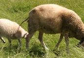 Sprzedam dwie ekologiczne matki owce mleczne fryzy rasy fryzyjskiej