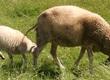 Owce Sprzedam dwie białe owce, płci