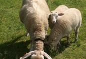 Sprzedam dwie ekologiczne matki owce mleczne fryzy rasy fryzyjskiej 1