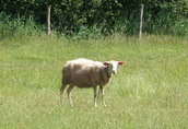 Sprzedam dwie ekologiczne matki owce mleczne fryzy rasy fryzyjskiej 2