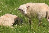 Sprzedam owce owieczki baranek jarka jagnięta dwa białe baran