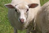 Sprzedam owce owieczki baranek jarka jagnięta dwa białe baran owca 1