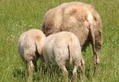 Sprzedam owce owieczki baranek jarka jagnięta dwa białe baran owca 2