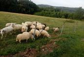 Sprzedam owce, jagnięta, tryka