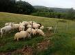 Owce Sprzedam kilka owiec, jagniąt i