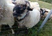 Sprzedam owce, jagnięta, tryka 1