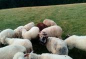 Sprzedam owce, jagnięta, tryka 2