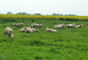 owce, jagnięta