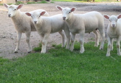 owce, jagnięta 1