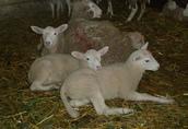 owce, jagnięta 2