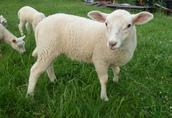 owce, jagnięta 3